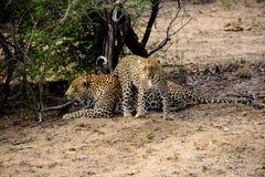 Мужской и женский леопард Стоковые Фото