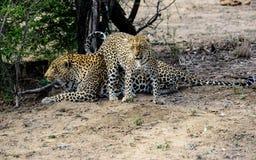 Мужской и женский леопард Стоковое фото RF