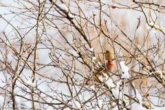 Мужской и женский зяблик дома садился на насест на ветви в холодной зиме; раздражанные пер Стоковые Фотографии RF