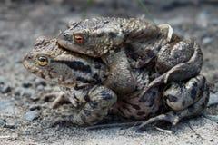 Мужской и женский сопрягать лягушки Стоковые Фото
