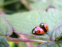 Мужской и женский ladybird 7-пятна Стоковые Изображения