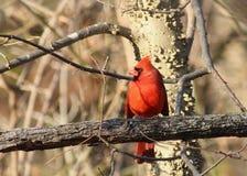 Мужской кардинал на день зим стоковая фотография