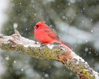 Мужской кардинал в снеге Стоковые Фотографии RF