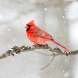 Мужской кардинал в снеге Стоковое Фото
