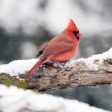 Мужской кардинал в снеге Стоковая Фотография RF