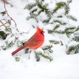 Мужской кардинал в снеге Стоковое Изображение