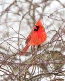 Мужской кардинал в снеге Стоковые Изображения RF