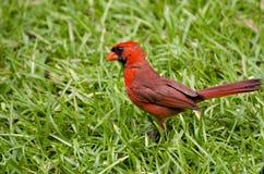 Мужской кардинал в траве Стоковое Фото
