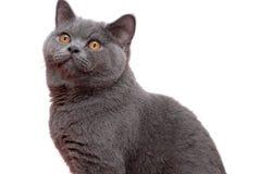 Мужской кот британцев Shorthair Стоковая Фотография
