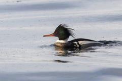 Мужской красно--breasted Merganser тот плавать на воды o Стоковое Изображение