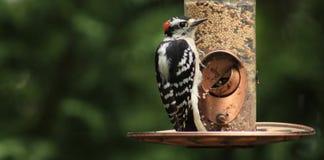 Мужской красно--cockaded Woodpecker Стоковое Изображение