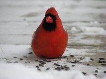 Мужской красный кардинал на еде семян подсолнуха в зиме стоковые изображения rf