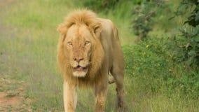 Мужской лев идя самостоятельно в Замбию стоковая фотография rf