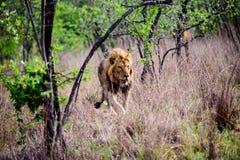 Мужской лев идя через лес Стоковые Фотографии RF