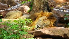 Мужской лев отдыхая и спать акции видеоматериалы