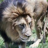 Мужской лев, пантера leo, король зверей Стоковое фото RF
