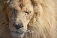 Мужской лев при закрытые глаза Стоковое Фото