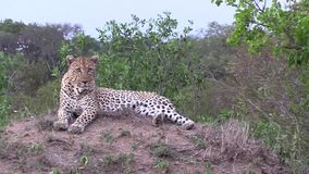 Мужской леопард на насыпи смотря вокруг для охотиться возможности сток-видео