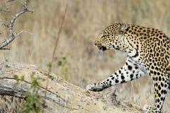 Мужской леопард шагая на мертвый ствол дерева стоковые фото