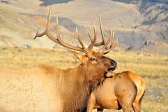 Мужской лось на национальном парке Йеллоустона стоковое изображение rf