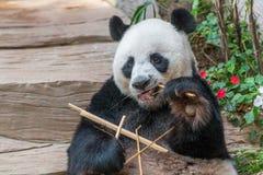 Мужской медведь гигантской панды наслаждается его завтраком Стоковые Изображения