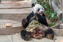 Мужской медведь гигантской панды наслаждается его завтраком Стоковые Фото