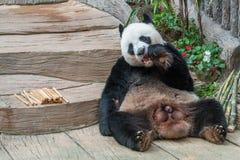 Мужской медведь гигантской панды наслаждается его завтраком стоковые изображения rf