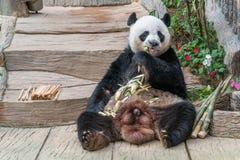 Мужской медведь гигантской панды наслаждается его завтраком стоковое фото