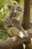 Мужской медведь коалы Стоковая Фотография RF
