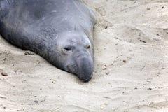 Мужской морской лев на пляже в Калифорнии Стоковые Изображения