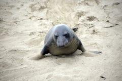 Мужской морской лев на пляже в Калифорнии Стоковое Изображение
