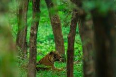 Мужской новичок тигра завизированный в муссоне когда лес как зеленый ковер на запасе тигра Ranthambore стоковое фото rf