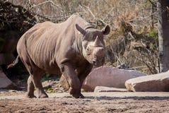Мужской носорог идет на песочную землю Стоковые Изображения