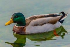 Мужской образец крякв плавает в озере Стоковые Изображения