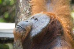 Мужской орангутан в лесе Kalimantan стоковые изображения rf