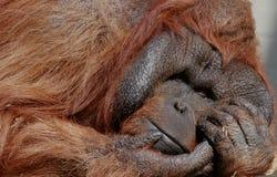 Мужской орангутан Стоковое Фото