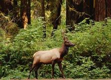 Мужской лось в лесе Стоковые Фотографии RF