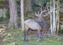 Мужской лось в древесинах Стоковые Фото