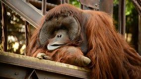 Мужской отдыхать орангутана сток-видео