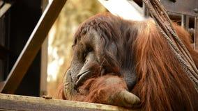 Мужской отдыхать орангутана видеоматериал