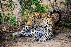 Мужской отдыхать леопарда Стоковые Изображения