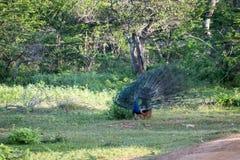 Мужской павлин зеленой предпосылки, птицы сини пер Индеец будет стоковые фото