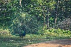 Мужской павлин зеленой предпосылки, птицы сини пер Индеец будет стоковое изображение