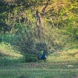 Мужской павлин зеленой предпосылки, птицы сини пер Индеец будет стоковое фото rf