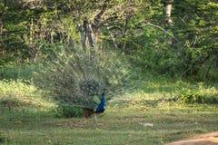 Мужской павлин зеленой предпосылки, птицы сини пер Индеец будет стоковые изображения rf