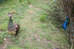 Мужской павлин который раскрывает к женскому павлину Стоковые Фотографии RF