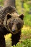 Мужской портрет бурого медведя в лесе Стоковое Фото