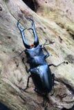 Мужской портрет жука рогача Стоковое Изображение RF