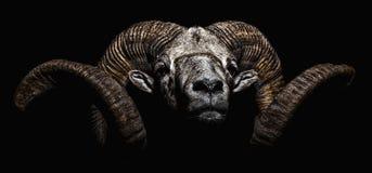 Мужской портрет овец архара Bighorn стоковые изображения rf