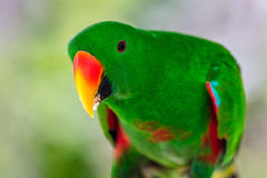 Мужской портрет попугая Eclectus Стоковое Фото